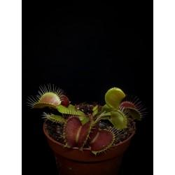 Dionaea 'B52'