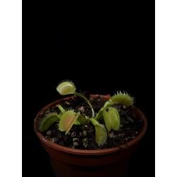 Dionaea 'Korrigans'